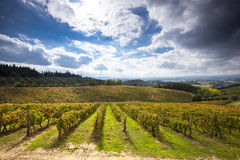 Green grape fields in Chianti Italy. Grape fields in a valley, Chianti Italy Royalty Free Stock Images