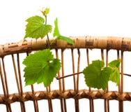 Green grape germ Royalty Free Stock Photos