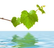 Green grape germ royalty free stock photo