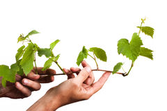 Green grape germ in hand Royalty Free Stock Photo