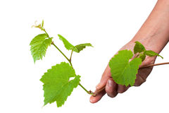 Green grape germ in hand Royalty Free Stock Photos
