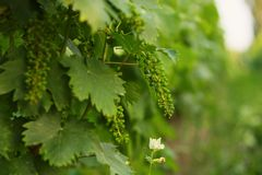 Green grape. Growing on vine Stock Photos