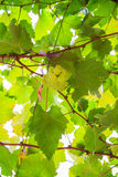 Green grape and leaves Stock Photography