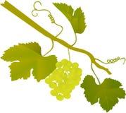 Green grape illustration Royalty Free Stock Photography