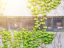 Green grape ivy. On the wall with windows stock images