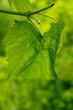 The green grape. Leaf on a green background royalty free stock photography