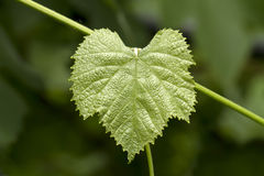 Green grape leaf Royalty Free Stock Photos