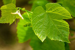 Green grape leaf closeup. young grapes Royalty Free Stock Photos