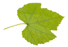 Green grape leaf Stock Photo