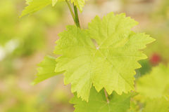 Green grape leaf Royalty Free Stock Image