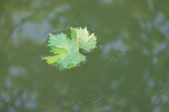 Green Grape Leaf Stock Photography