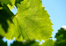 Green grape leaf Stock Images