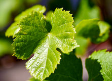 Green grape leaf Royalty Free Stock Photo