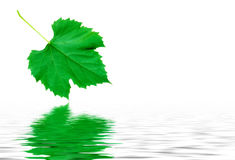 Green grape leaf with water reflection royalty free stock images