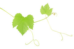 Green grape leaves Royalty Free Stock Image