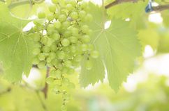 Green grape Royalty Free Stock Photos