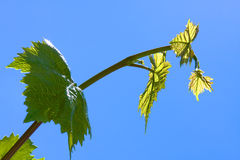 Green grape leaves. On bright blue sky background Royalty Free Stock Images