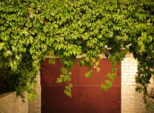 Green grape leaves above old garage door as frame, vintage style Royalty Free Stock Photo
