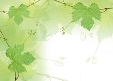 Green grape leaves background Stock Images