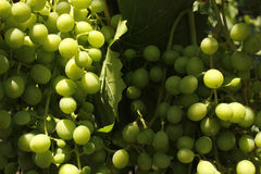 Green grape. With green leaves background Stock Images