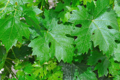 Green grape leaves Royalty Free Stock Photo