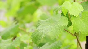 Green grape leaves on the branch with water drops in the garden. Plant in the rain, close up, dynamic scene, toned video. Green grape leaves on the branch with stock video footage