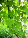 Green grape leaves stock photos