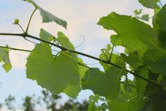 Green grape leaves in droplets of summer rain Royalty Free Stock Image