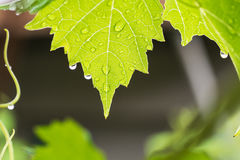 Green grape leaves in drops of rain. Royalty Free Stock Photo