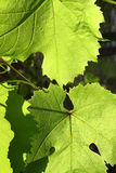 Green grape leaves Stock Photos