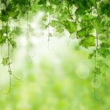 Green Grape Leaves and Grapevine on Abstract Bokeh Stock Images