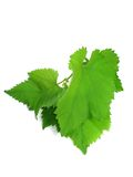 Green grape leaves isolated over white Stock Photo