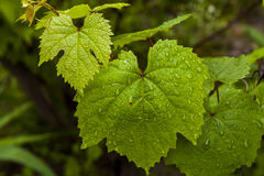Green grape leaves Stock Image