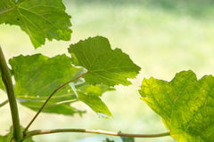 Green grape leaves on a sunny day Stock Photos