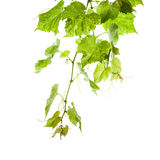 Green grape leaves Stock Images