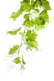 Green grape leaves Royalty Free Stock Photos