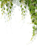 Green grape leaves stock image