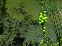 Green, grape-like fruit of the Geebung. Persoonia, an Australian native plant, produces these fruit that look just like grapes - but with a spike at the end stock photo