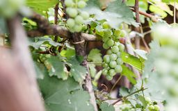 Green Grape with Only one ripe. The fresh grape at the garden with only one ripe Royalty Free Stock Image