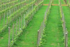 green grape plant Royalty Free Stock Photos
