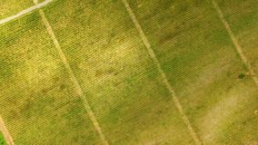 Green grape rows aerial view, family business, agriculture and farming, nature. Stock photo royalty free stock images