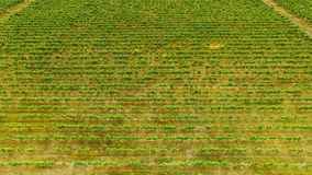 Green grape rows in Georgia, gardening and farming in countryside, aerial view. Stock photo royalty free stock images
