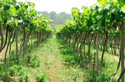 Green grape tree Stock Image