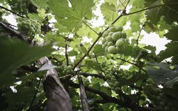 Green Grape from under view. The fresh grape at the garden Royalty Free Stock Photos