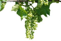Green grape vine. Isolated on white Royalty Free Stock Photo