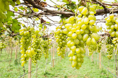 Green grape on vine royalty free stock photography