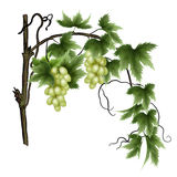 Green grape vine. Vine with green leaves and ripe green grapes Stock Photos