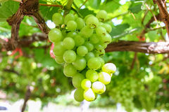 Green grape on the vine. Royalty Free Stock Photos