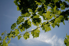Green Grape Vines. And leaves under blue sky Royalty Free Stock Photography