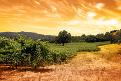 Green Grape Vines. Under oak tree and hand toned tobacco sky Royalty Free Stock Images